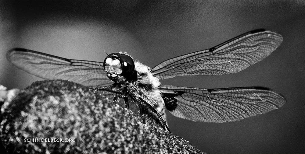 Libelle, Dragonfly - Photo Schindelbeck