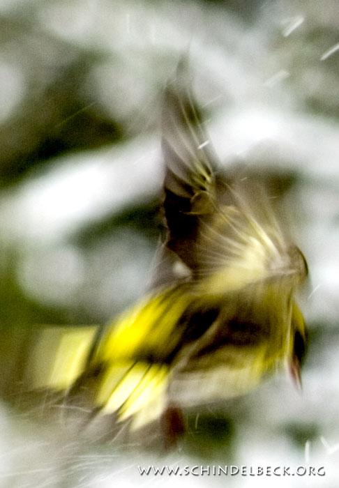 Vogel im Flug - Foto: Frank Schindelbeck