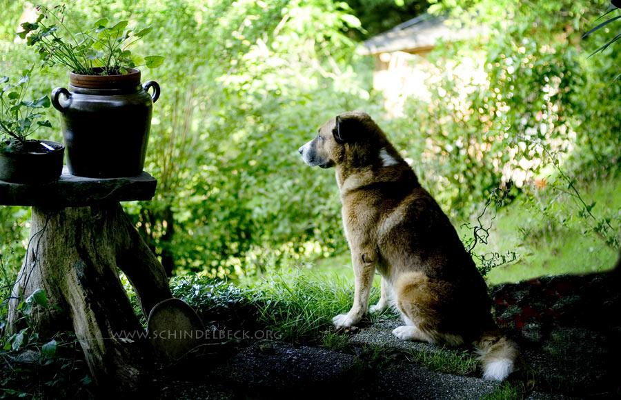 Wachhund in Alpirsbach - Foto Schindelbeck